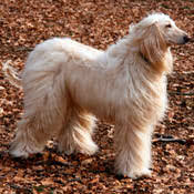 afghan hound snood afghan hound hounds dogs care com