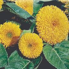 teddy sunflowers teddy sunflower annual seeds helianthus annuus