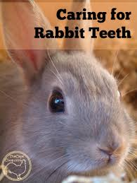 caring for rabbit teeth the cape coop
