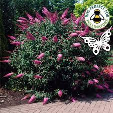 Fragrant Plants For Pots 1 X Buddleja Davidii U0027sugar Plum U0027 Butterfly Bush Deciduous Shrub