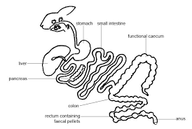 file anatomy physiology animals gut rabbit jpg