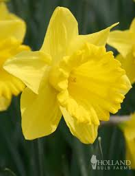 daffodils sale dutch master old king alfred daffodil
