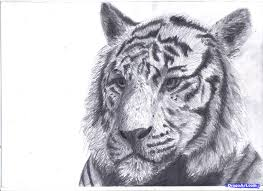 draw a white tiger draw a tiger in pencil step by step drawing