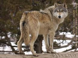wolf pictures wolf looking back nisca