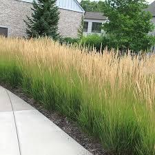 calamagrostis karl foerster drought deer proof ornamental grass