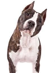 american pitbull terrier dalmatian mix the best types of dogs for runners runner u0027s world