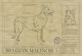 belgian shepherd history animal drawings archives animal blueprint company
