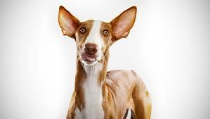 afghan hound dogs 101 ibizan hound dog breed selector animal planet