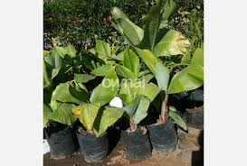 ornamental banana plant for sale ownai