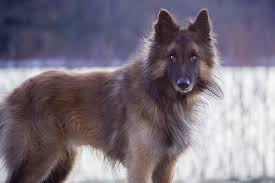 belgian shepherd wolf mix wolfdog by passionforhorse on deviantart