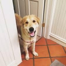Comfort Retrievers For Adoption Retriever Rescue Of Colorado Adopt A Dog Home Retriever Rescue