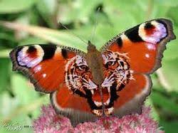 the tiger meets butterfly space for both soul to