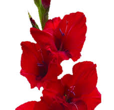 gladiolus flower order bulk gladiolus flower at wholesale prices