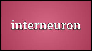 What Is Interneuron Interneuron Meaning Youtube