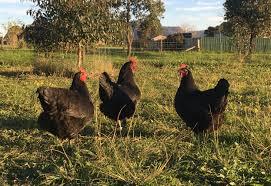 chicken selection eamc