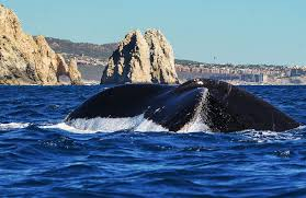 whale watching tours in cabo cabo whale trek