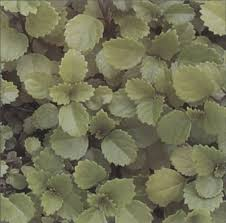 swedish ivy a profile of a house plant howstuffworks