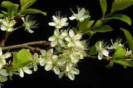 White Flowering Shrub - free images branch blossom leaf flower bloom food produce