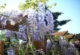 kletterpflanzen fã r balkon grune kletterpflanzen 1 4 immergrune kletterpflanzen fur zaun