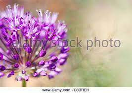 ornamental allium and fennel foeniculum vulgare stock