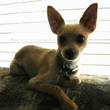 short haired chorkie chorkie dog breed pictures 1