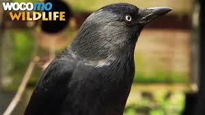 ravens and crows the most intelligent birds in the world animal