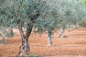 olive trees in the northeast hunker