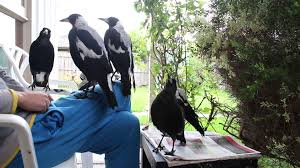 bird whisperer plays with flock of magpies youtube