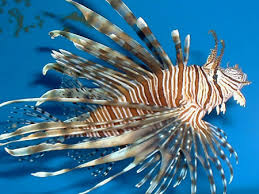 lionfish spotted in flower garden banks national marine sanctuary