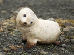 baby seal wallpaper seals animals wallpapers in jpg format for