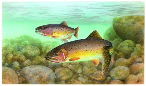 free picture trout cutthroat fish oncorhynchus clarkii clarkii