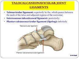 Talus Ligaments Anatomy Of Small Joints Of The Foot