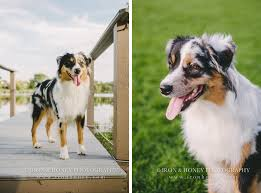 australian shepherd indiana miniature american shepherds chicago wedding and lifestyle