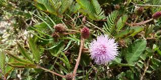 Obat Tidur Herbal susah tidur atasi dengan tanaman putri malu deherba