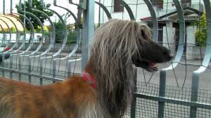 afghan hound life in a day lizzie the afghan hound youtube