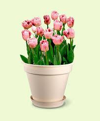 dalia in vaso acquista 42 bulbi da fiore vaso per piantagione a strati
