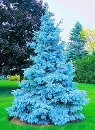 7 5 colorado blue spruce artificial tree with clear