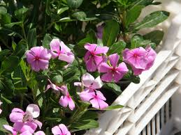health benefits of sadabahar periwinkle or vinca rosea caloriebee