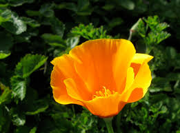 drystonegarden blog archive bloom day u2014 first cal poppy edition