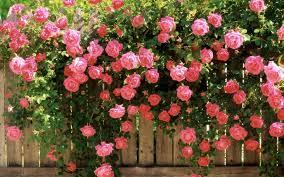 widescreen beauty nature beautiful flower pink rose garden spring