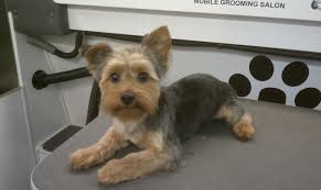 before and after yorkshire terriers short hair cut yorkshire grooming styles club doggie mobile grooming salon