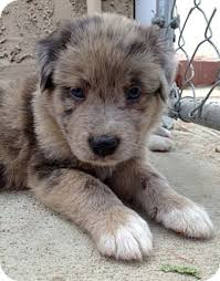 australian shepherd for sale california dakota adopted puppy inglewood ca australian shepherd st