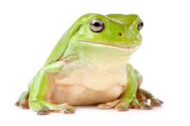 whites tree frog for sale reptiles for sale