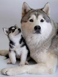 american pitbull terrier vs siberian husky 3010 best doggy images on pinterest animals dogs and doggies