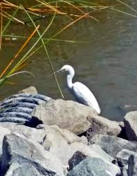 great white egret symbolism tania marie u0027s blog