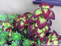 How To Grow Coleus Plants by Propagating My Coleus