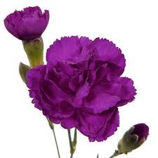 purple carnations option for ranunclus and or dahlias mini carnations purple