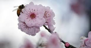 pruning flowering cherry for more information visit garden
