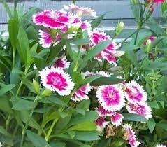 sweet william flowers sweet william