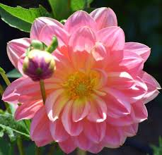 dahlias flowers just opened in the garden dahlia dahlias flowers